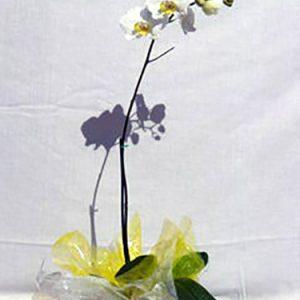 Gift Wrapped Phalaenopsis
