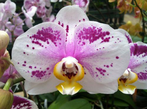 Harlequin Phalaenopsis