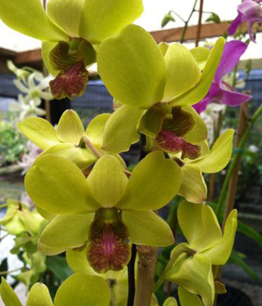 Yellow or Green Dendrobium