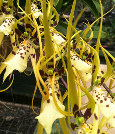 Brassia Genus