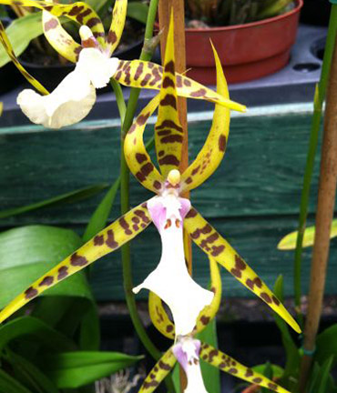 "Milt. Golden Spider ""Copius"""