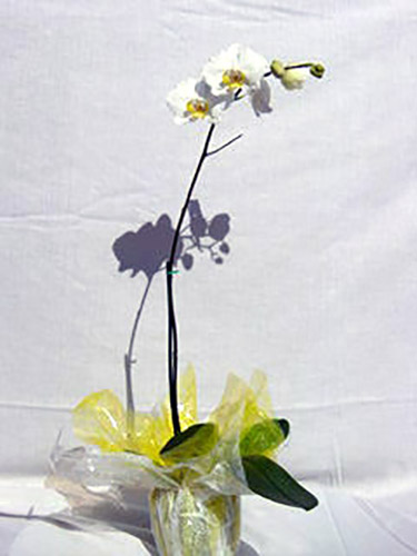 Gift Wrapped Phalaenopsis