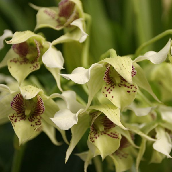 Misc. Orchids & Cattleyas