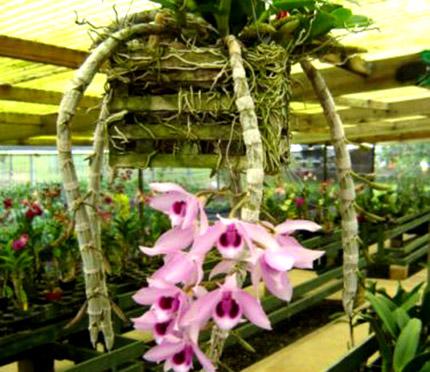 """Dendrobium Anosmum """"Honohono"""""""